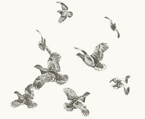 quail in flight Quail ...
