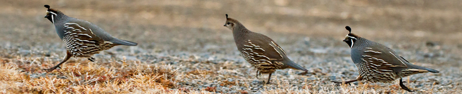 California (Valley) Quail