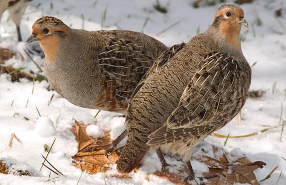 Hungarian (Grey) Partridge