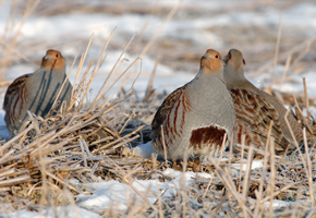 Hungarian (Grey) Partridge