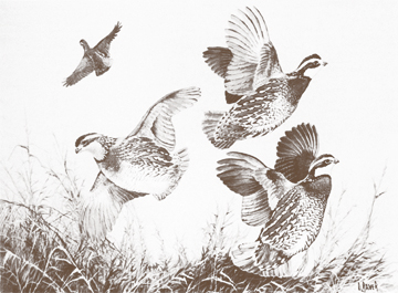 Quail Flying  Quail Flying Drawing