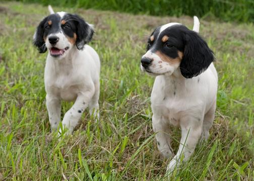 Puppies_3